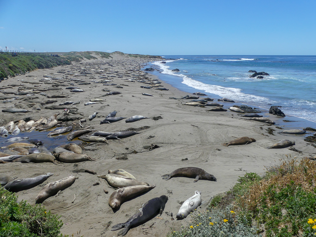 Pacific Coast Highway Elephant Seal Rookery Overview