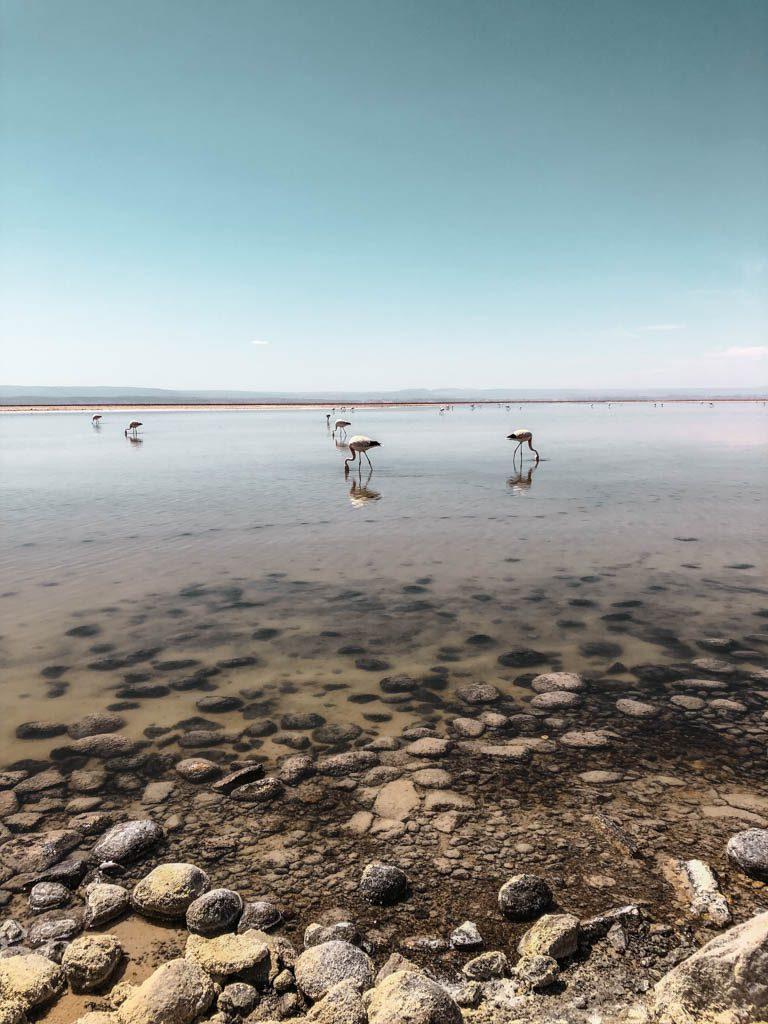 Atacama Wüste Laguna Chaxa Flamingos Spiegelung Lagune