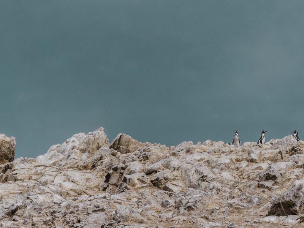 Paracas Pinguine