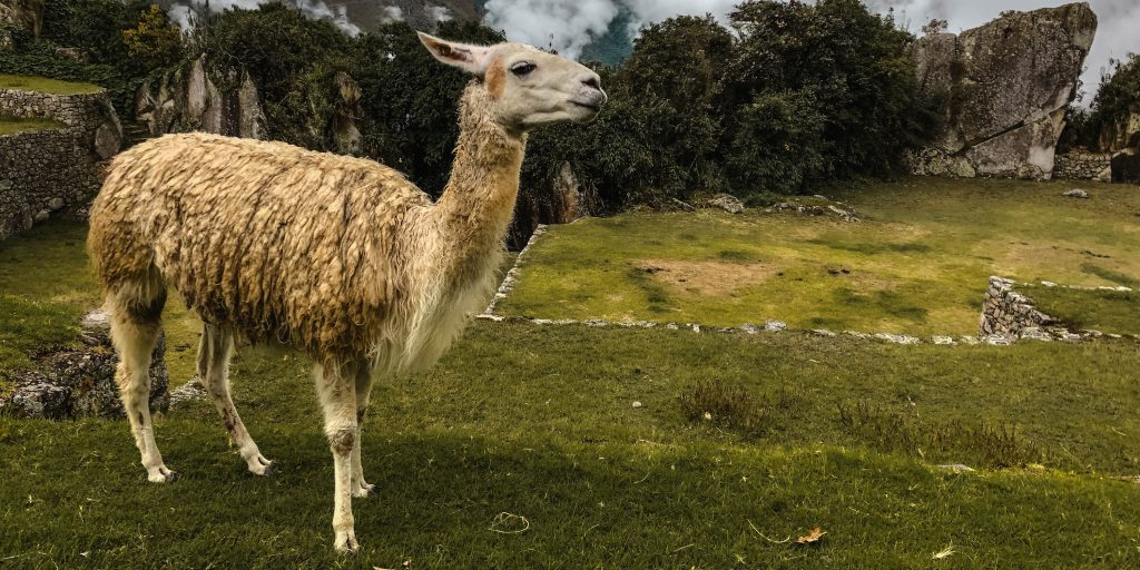 Peru Titelbild Lama